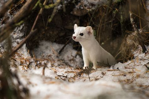 I Photographed A Cute Little Ermine On Our Hike In
